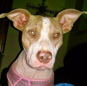 Rebel Rescue mascot Emma Frost - Adopted by Vice President, Brian Glover and she is the reason Rebel Rescue was founded :)